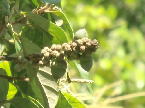 シリブカガシ 冬茶色に熟す楕円形のドングリ