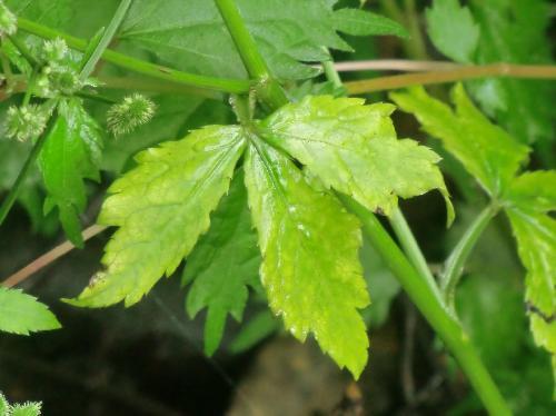 ウマノミツバ 葉は上部では3裂