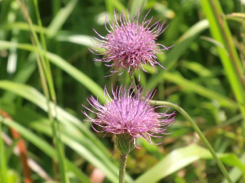 キセルアザミ 初秋 紫の花