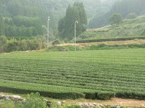 チャノキ お茶畑