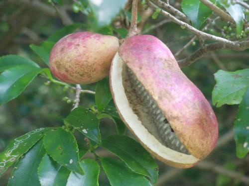 ミツバアケビ 秋 赤紫に熟す 皮が割れ中から甘い果肉が出てくる