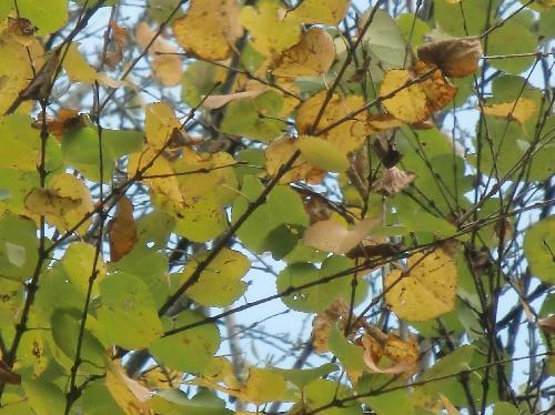 カツラ 秋には黄色に紅葉