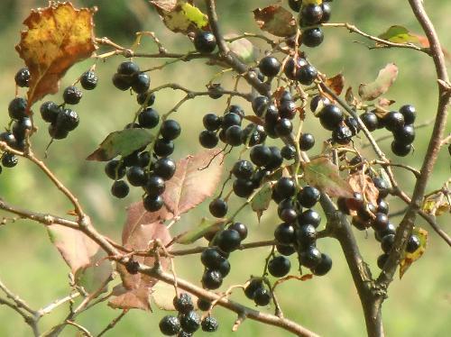 ナツハゼ 秋 黒紫色に熟し可食