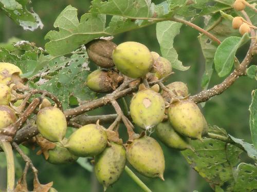 キリ 秋 茶褐色の鈴のような実