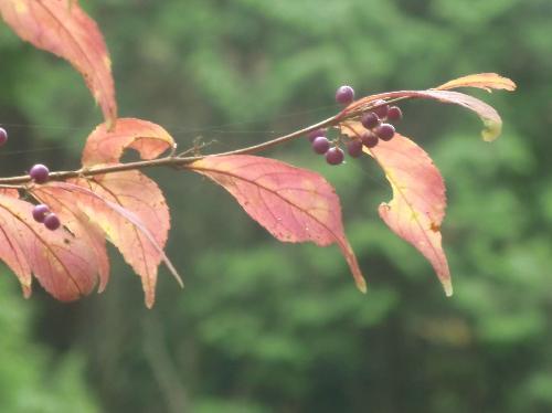 ムラサキシキブ 秋赤紫色に紅葉