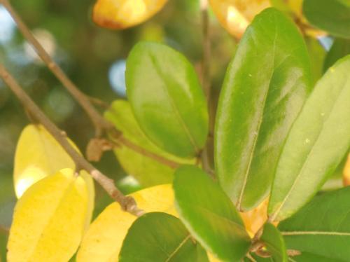 ウバメガシ 互生楕円形鋸歯 秋に黄色に紅葉