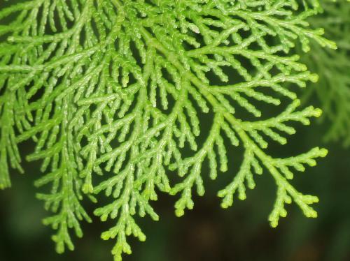 ヒノキ 細かいうろこ状の葉
