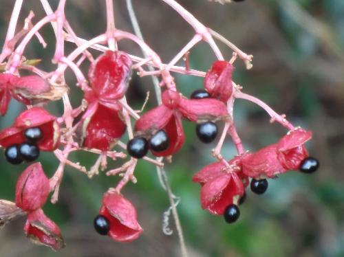 ゴンズイ 晩秋 薄ピンクから赤 熟すと割れて中から黒い種子が出てくる
