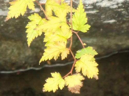 コゴメウツギ 秋には黄色に紅葉
