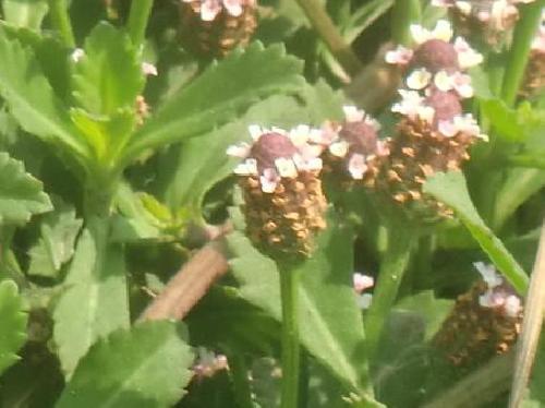 イワダレソウ 夏から秋 桃紫