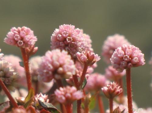 ヒメツルソバ 秋冬春 ピンクの小さな花を球状につける
