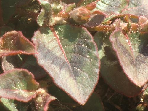 ヒメツルソバ 卵形互生鋸歯 黒いハの字型の斑
