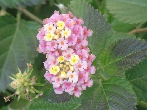 ランタナ 春夏秋冬 黄、ピンク 花を球状につける