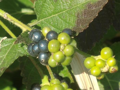 ランタナ 春夏秋冬 球形の小さな青黒い実を球状につける