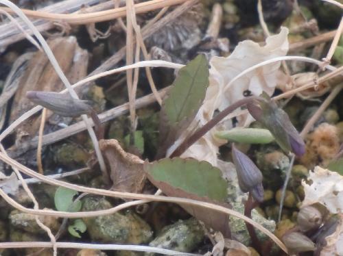 コスミレ 薄紫の葉