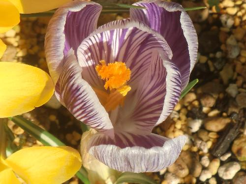 ハナサフラン 晩冬初春に白と紫の縞模様