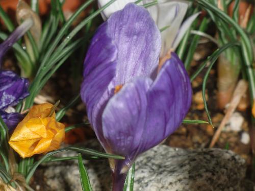 ハナサフラン 晩冬初春に青紫