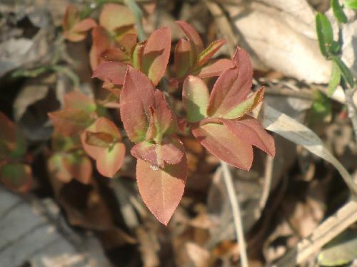 ウスノキ 赤茶色の新芽