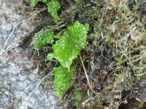 イワタバコ 岩清水を受けながら芽吹く新芽