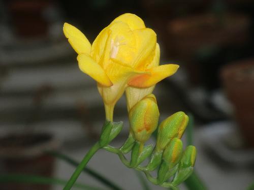 アサギズイセン 春 黄色