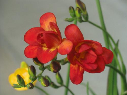 アサギズイセン 春 赤