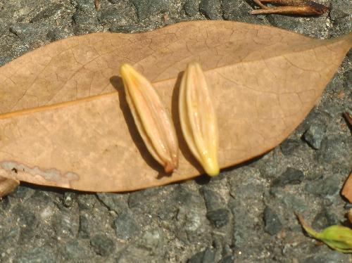 ツルグミ 長楕円形の種子 稜がある