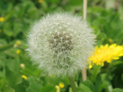 セイヨウタンポポ 晩春夏 綿毛 茶色の実
