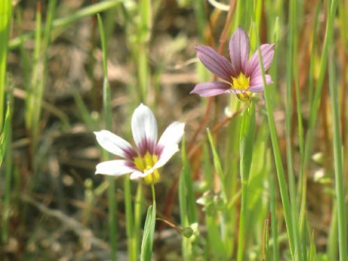 ニワゼキショウ 白っぽい個体と紫色の個体 晩春
