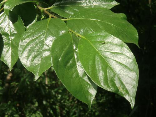 ヤマガキ 光沢のある楕円形の葉 全縁 互生