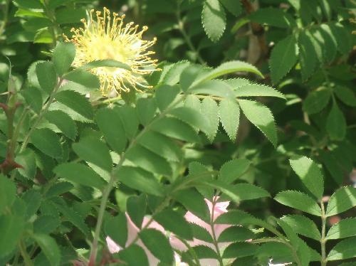 サンショウバラ 羽状複葉 互生 小葉は卵形から楕円形で対生細かい鋸歯