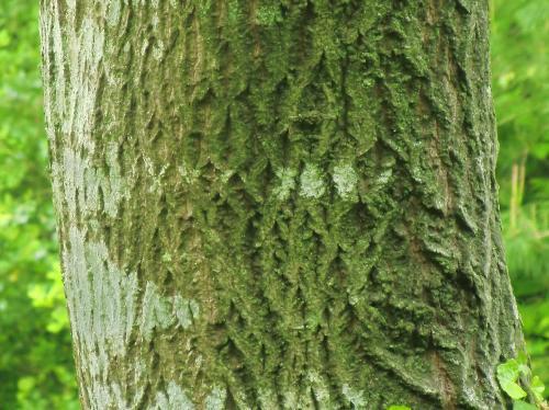 クマノミズキ 褐色で中程度にX状の割れ