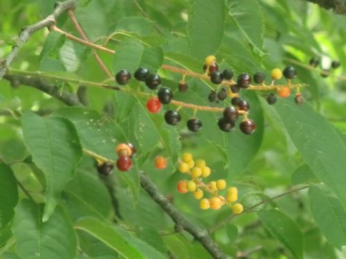ウワミズザクラ 果実は球形で夏に黄色から赤橙、黒紫と熟す