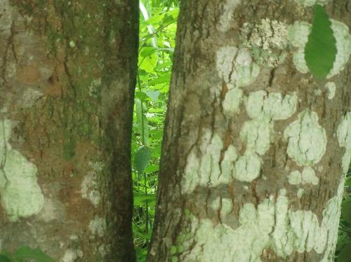ウワミズザクラ 老木では樹皮は茶褐色になり、縦方向の皮目が目立つ
