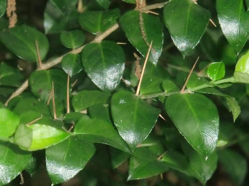 アリドオシ 卵形全縁で対生し、大きな葉と小さな葉が交互に付く