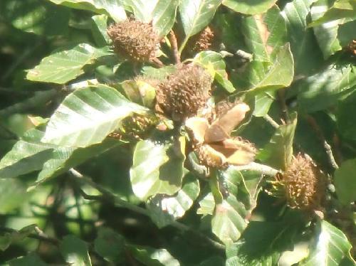 ブナ 秋茶色に熟す 四方に割れて種子が出る