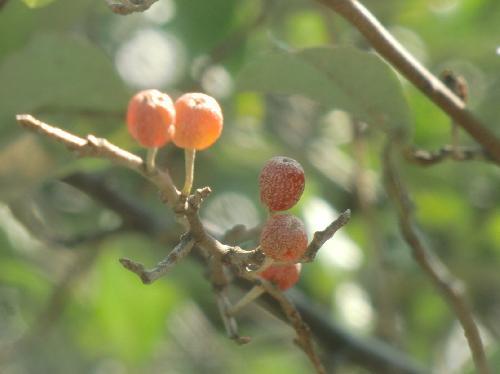アキグミ 秋に熟し、赤くて球形