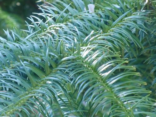 コウヨウザン 枝先では水平に付く細長い針状の葉