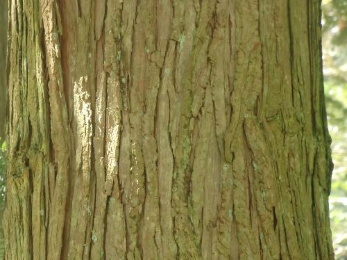 コウヨウザン 茶色で縦に割れる樹皮