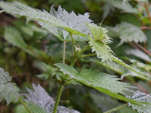 イラクサ 茎や葉柄にはトゲ