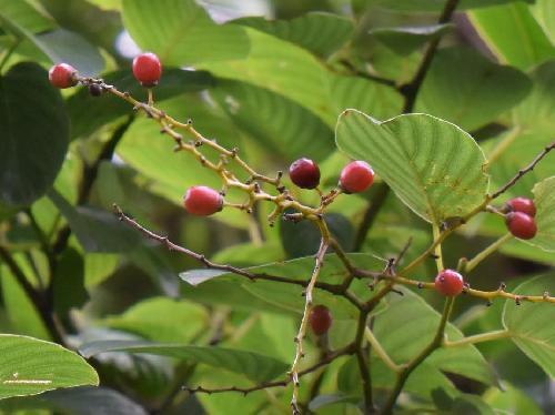 クマヤナギ 楕円形 秋から翌年の春に赤 夏に赤黒