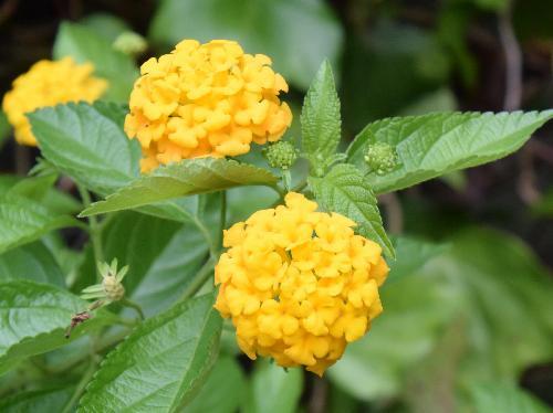 キバナランタナ 春夏秋 黄色い花