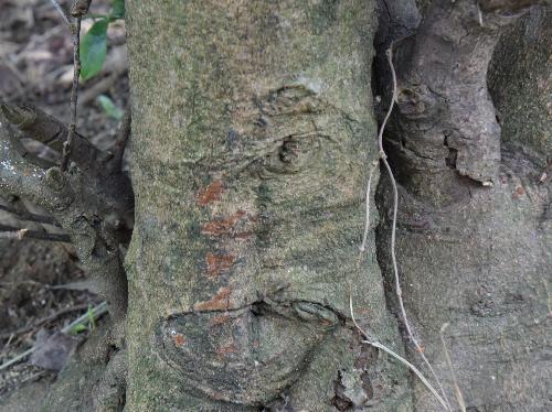 ヒサカキ 灰褐色の樹皮 こすると赤茶色