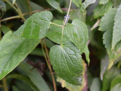 タカネハンショウヅル