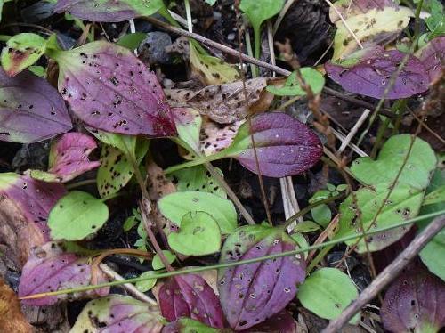 オオバコ 秋 紫色に紅葉