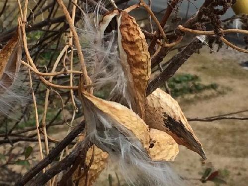 ガガイモ 綿毛の付いた茶色の細長い種子
