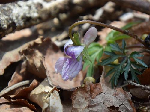 エイザンスミレ 春に青紫の花