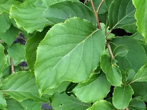 アサガラ 広楕円形で浅い鋸歯 互生