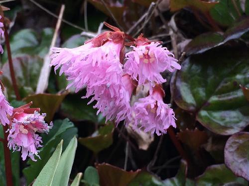 イワカガミ 晩春~初夏 白からピンク花びらの先端がいくつにも裂ける