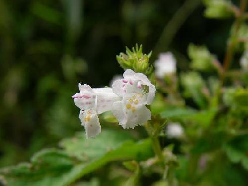 ヒメジソ 初秋 ピンク白 小さい花