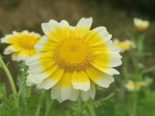 シュンギク 春に黄